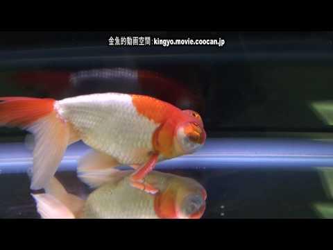 [頂天眼]第28回日本観賞魚フェア 弐歳の部 優勝:清水 大輔氏持魚