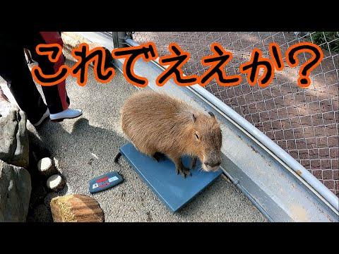カピバラの体重なんぼ?【カピバラ】