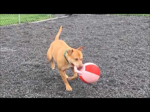 Hector, an adopted Pit Bull Terrier Mix in Williamsport, PA