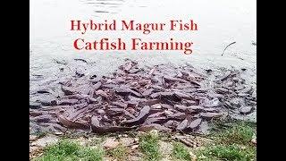 hybrid magur fish farming - मुफ्त ऑनलाइन