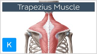 Trapezius Muscle - Origin, Insertion, Actions - Human Anatomy |Kenhub