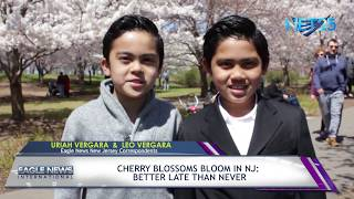 Cherry Blossoms Bloom In NJ: Better Late Than Never