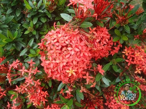 Video Cara pembibitan / perbanyakan bunga soka / asoka dengan stek batang