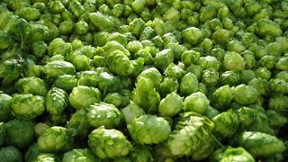 Dry hopping your home brewed beer the right way