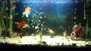 preview picture of video 'Aquarium - Poisson Rouge a Eau Froide - HD- Algérie - Sig- Brahmi Zakaria'