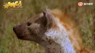 鬣狗抓走小狮子,愤怒雄狮冲进鬣狗老家杀死鬣狗幼崽复仇