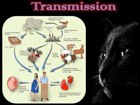 Sil est dangereux pour la personne si chez le chat les helminthes