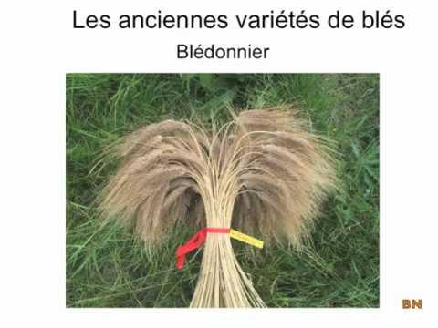 Les anciennes variétés de blés