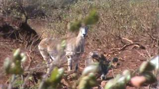 preview picture of video 'Lanai Mouflon ewes and young ram'