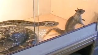 Python eats Squirrel in Enclosure
