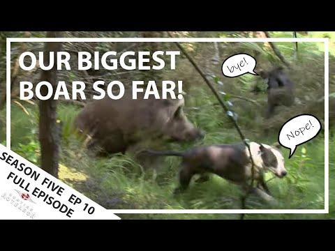 Hunting Aotearoa Series 5 EP10 Biggest Boar we've ever seen!