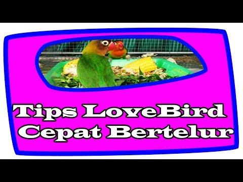 Video Solusi Agar Lovebird Cepat Bertelur