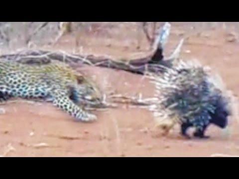 Leopard angriper pinnsvin - angrer umiddelbart