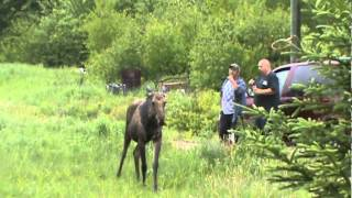 Moose playing with a Dog in the rain-St.-Phillippe NB