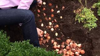 The Best Method for Planting Tulip Bulbs