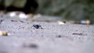 蟻を捕食するハンミョウ。
