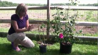 How to Grow and Care for Clematis - Step-By-Step Gardening