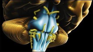 Neuroanatomy - The Brainstem