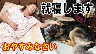♯シェパード犬就寝ベットお布団大好きGerman Shepherd Dog