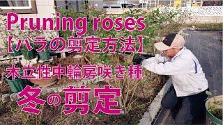 Pruning roses【バラの剪定方法】中輪房咲き品種の冬剪定