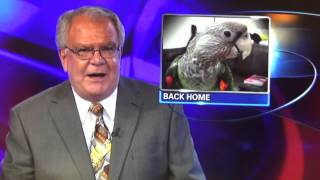 Truman Cape Parrot - Lost Parrot Found on the News