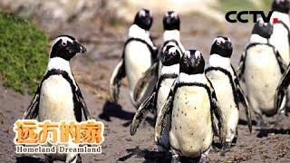 《远方的家》一带一路(440)南非开普半岛: 探访西蒙镇企鹅滩 感受人与自然的和谐 20181128 | CCTV中文国际