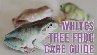 How To Care For Whites Tree Frogs   Care Guide