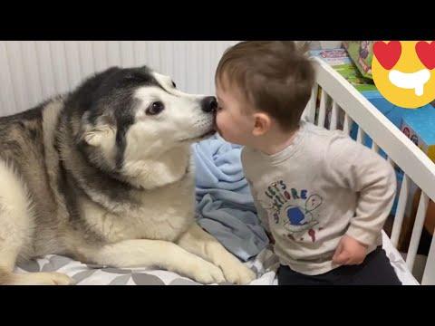 二哈哈士奇與小baby互動!
