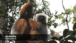 preview picture of video 'The sound of the sifaka from Andasibe'