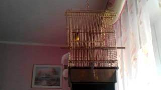 Singing canaries.Пение канарейки.