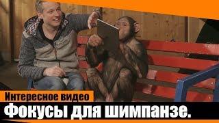 Реакция шимпанзе  на фокусы с  iPad