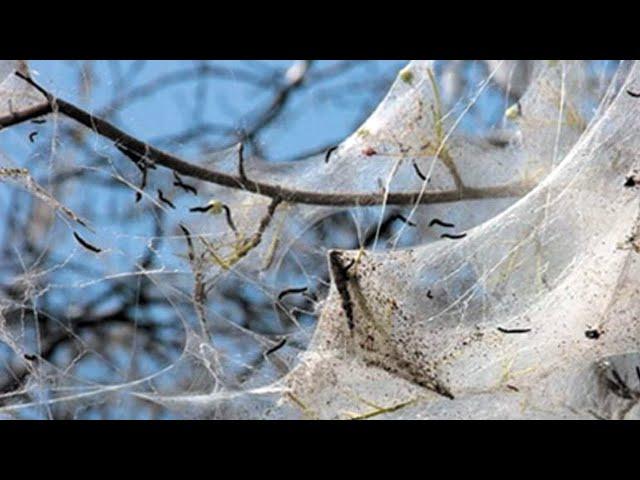 В Ангарск вернулась горностаевая моль