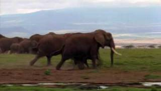 African Elephant - Conflict with Humans