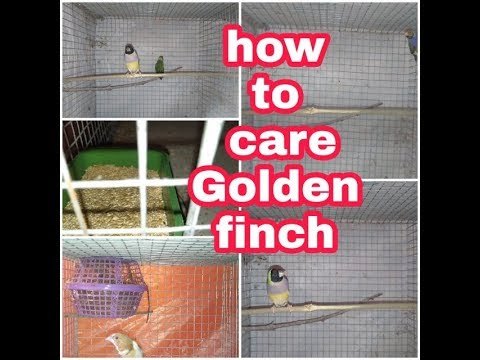how to care Golden finch
