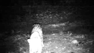 preview picture of video 'video of Leopardess Kim shortly after relocation in October 2010'