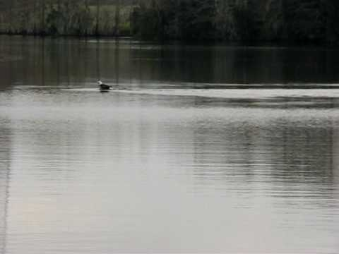 עיט לבן ראש צד דגים בשחייה