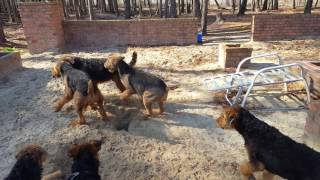 Airedale Terrier Puppies for Sale Video - S & S Family Airedales - Airedales Playing Like Airedales