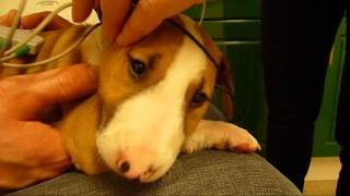 English bull terrier puppies BAER hearing test. Good news, all passed