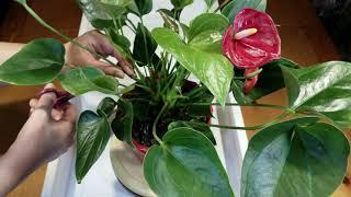 공기정화식물 안스리움 가지치기 하여 건강하게 키우기《Nature's Air Purifier Plant Anthurium - Growing Healthy After Pruning》