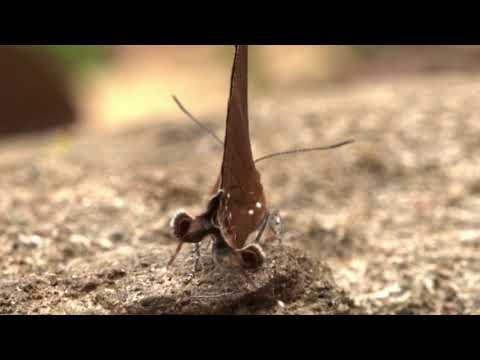シジミチョウの尾状突起は偽の頭
