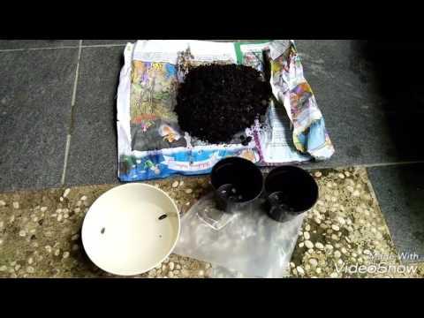 Video Cara Menyemai Bunga Matahari Prado / Menanam Sun Flower Prado / Sunflower Sangat Mudah