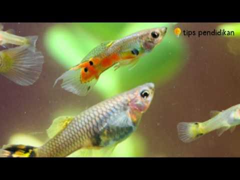 Video Cara Praktis Budidaya Ikan Guppy