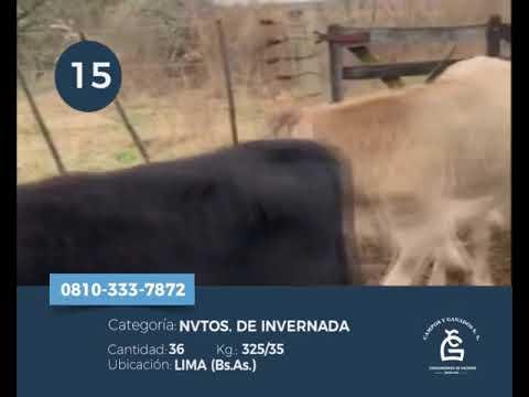 Lote Novillitos - Lima