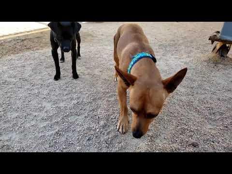 JULIAN, an adoptable Chihuahua Mix in Phoenix, AZ