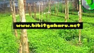 preview picture of video 'Jual Bibit Gaharu Pulau Taliabu Hub.081251826868 PT.Borneo Nusantara Internasional Agarwood'