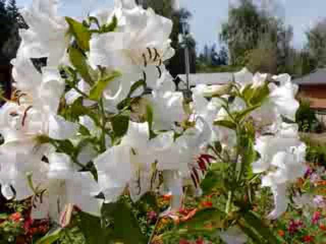 Цветок лилия касабланка - Lilya_ Casablanca (64 цветка на стволу)