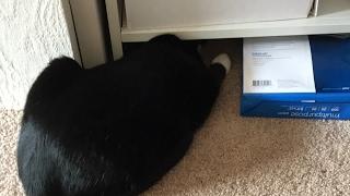 CAT IS KILLING LIZARD! HELPPPP