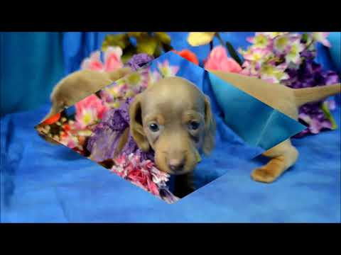 Annebelle AKC Female Isabelle Tan SH Miniature Dachshund Puppy for sale!