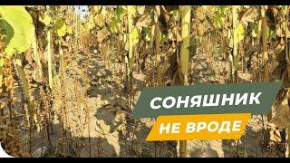 Хто вирощує соняшник Увага! - вовчок (заразиха)