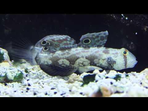 Download Species Spotlight Season 2 The Diamond Sleeper Goby Epis